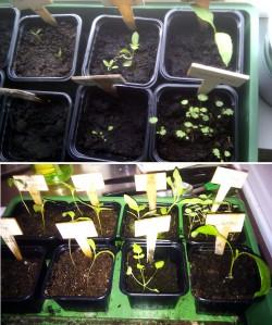 Drivhuset för snabbväxande chili, den 24 mars och idag.