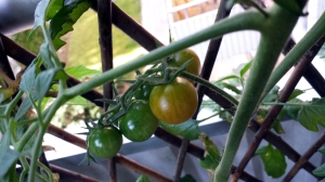 I dagsläget har vi 50-60 tomater. Mums.