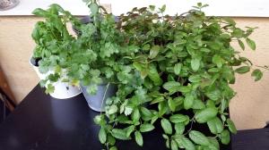 Kryddhyllan: Basilika, koriander och mynta. Myntan skulle lätt kunna planteras om i en större kruka, men jag tycker att den tar tillräckligt mycket plats redan.