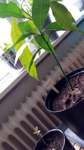 Mangon har dessutom fått sällskap av avocadon, som äntligen började visa livstecken efter några veckor halvvägs ner i ett vattenglas.