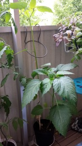 Jag vet inte om jag borde dela på plantorna, men så länge som den verkar trivas så låter jag den vara.