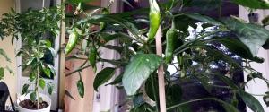 Fish Pepper Sr. Har fått växa fritt och har därför en läckert bladig stam.